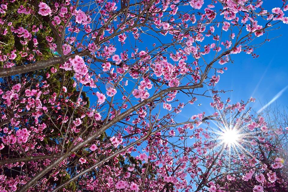 cherry-blossom-1037974_960_720