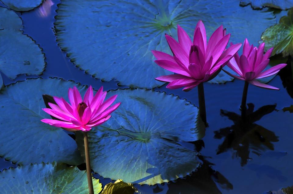 lotus-flower-216119_960_720